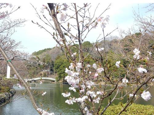 池桜.jpg