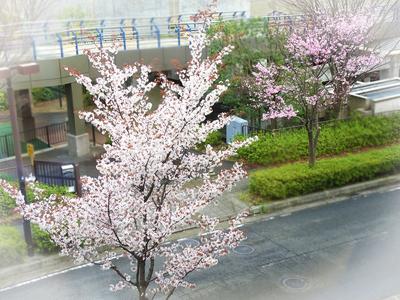 ティーラウンジ桜.jpg