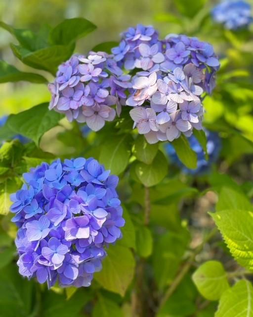 紫陽花2.png