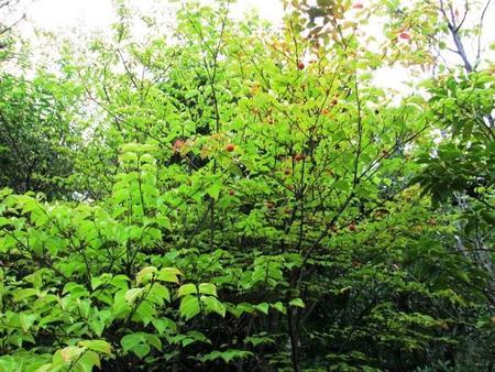 2018-10-中庭のヤマボウシの木.JPG